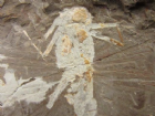 LATE JURASSIC STICK INSECT FROM CHINA.